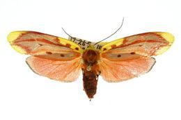 Image of <i>Lactura sapotearum</i>
