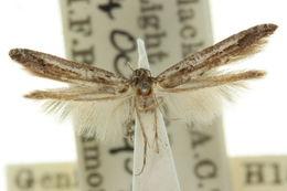 Image of <i>Gnathifera aphronesa</i> Meyrick 1897