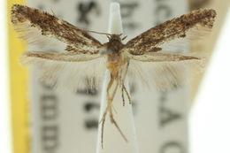Image of Epermenia1 epispora
