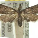 Image of <i>Anomima phaeochroa</i> Turner 1922