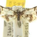 Image of <i>Euthesaura glycina</i> Turner 1922
