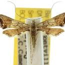Image of <i>Euthrausta phoenicea</i> Turner 1908