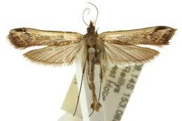 Image of <i>Tanycnema anomala</i> Turner 1922