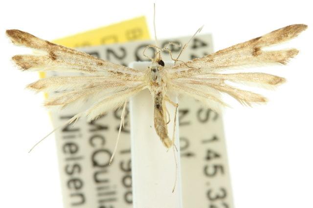 Image of <i>Stenoptilia phaeonephes</i> (Meyrick 1886)
