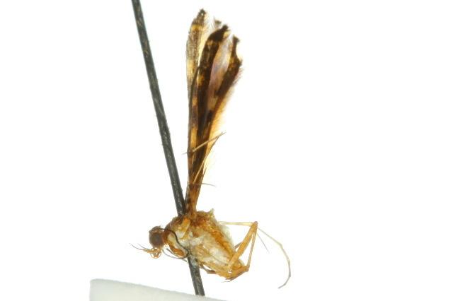 Image of <i>Xyroptila marmarias</i> Meyrick 1908