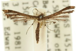 Image of <i>Xyroptila peltastes</i> (Meyrick 1908)