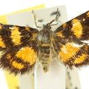 Image of Simaethistoidea