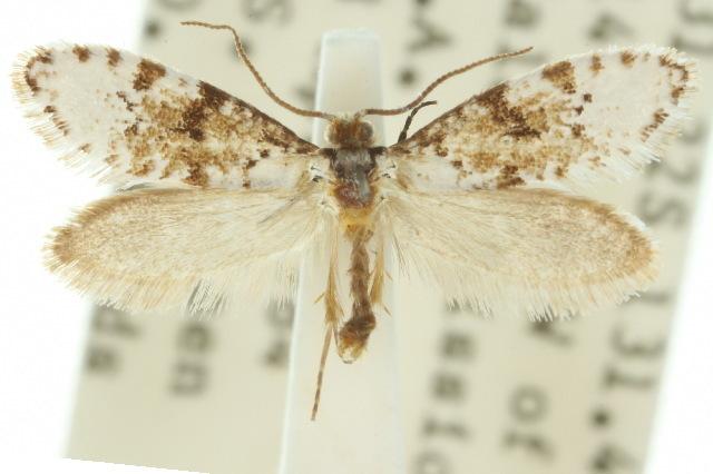 Image of <i>Lophocorona pediasia</i> Common 1973