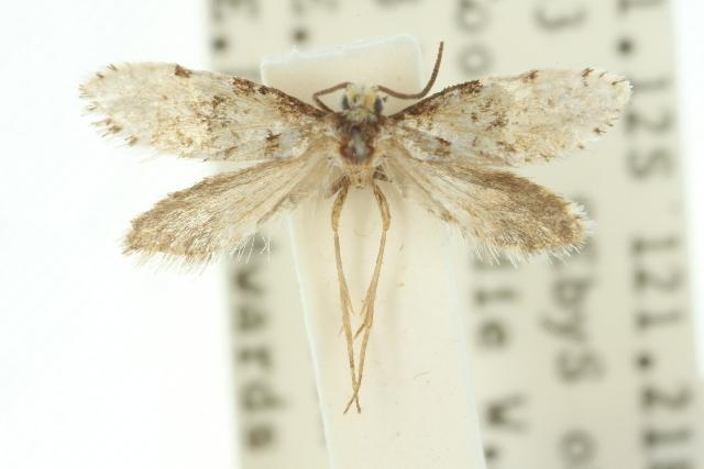Image of <i>Lophocorona astiptica</i> Common 1973