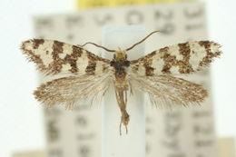Image of <i>Lophocorona commoni</i>
