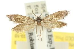 Image of <i>Lophocorona robinsoni</i>