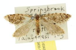 Image of <i>Anomoses hylecoetes</i> Turner 1915