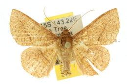 Image of <i>Striglina cinnamomea</i> Rothschild 1915