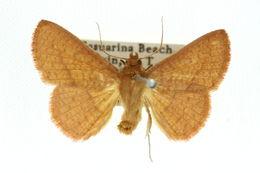 Image of <i>Striglina navigatorum</i> Felder, Felder & Rogenhofer 1873