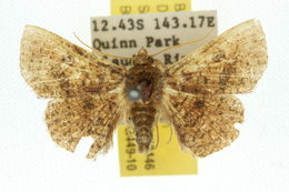 Image of <i>Striglina asinina</i> Warren 1899