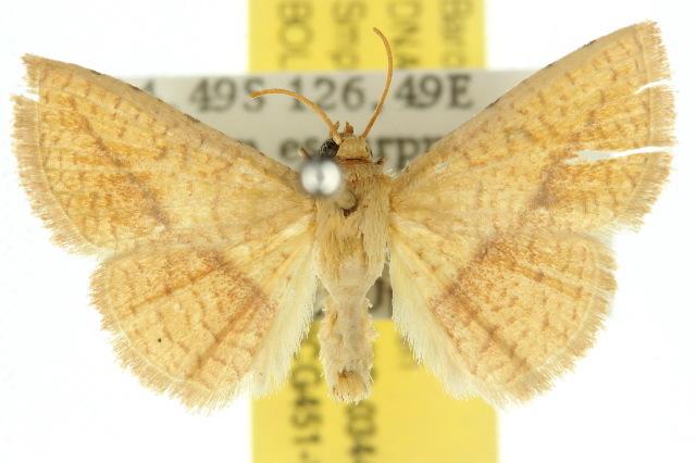 Image of <i>Striglina meridiana</i> Whalley 1976