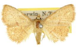 Image of <i>Striglina scitaria</i> Walker 1862
