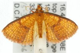 Image of <i>Aglaopus carycina</i> Turner 1915