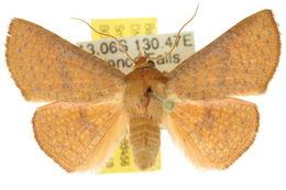 Image of <i>Aglaopus floccosa</i> Warren 1905