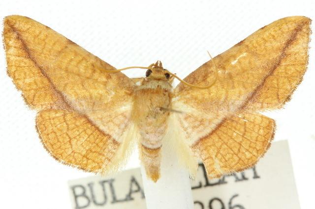 Image of <i>Aglaopus loxomita</i>