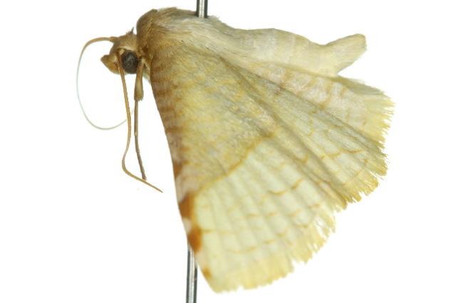 Image of <i>Aglaopus stramentaria</i> Lucas 1898