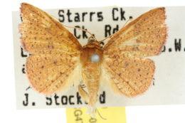 Image of <i>Aglaopus ferruginea</i> Whalley 1976