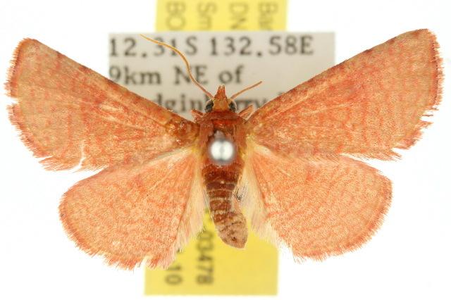 Image of <i>Aglaopus parata</i> Whalley 1976