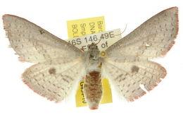 Image of <i>Aglaopus irias</i> Meyrick 1887