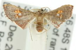 Image of <i>Mathoris loceusalis</i> Walker 1859