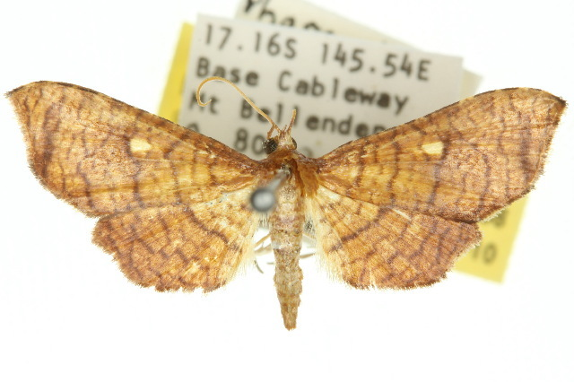 Image of <i>Pharambara micacealis</i> Walker 1866