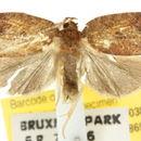 Image of <i>Thyromorpha stibaropis</i> Turner 1917