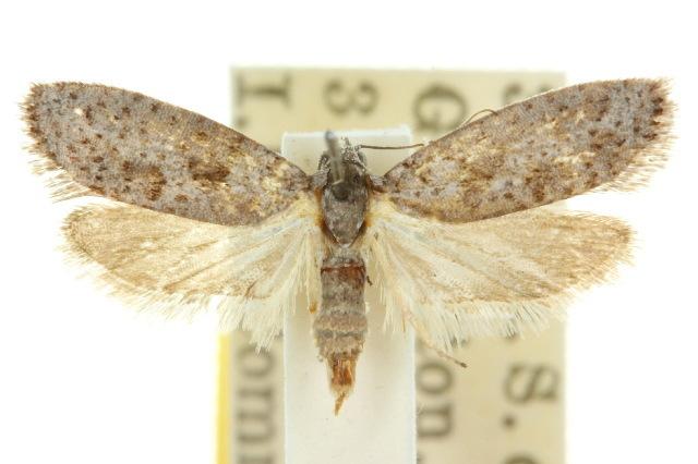 Image of <i>Homadaula myriospila</i> Meyrick 1907