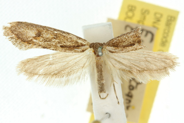 Image of <i>Eucryptogona trichobathra</i> Lower 1901