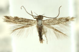 Image of <i>Elachista</i>