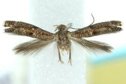 Image of <i>Elachista delira</i>