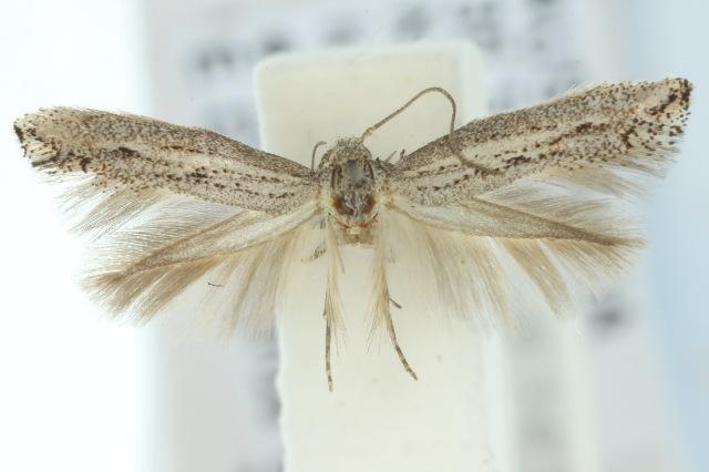 Image of <i>Elachista paragauda</i>