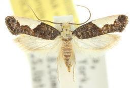 Image of <i>Monopis monacha</i> Zagulajev 1972