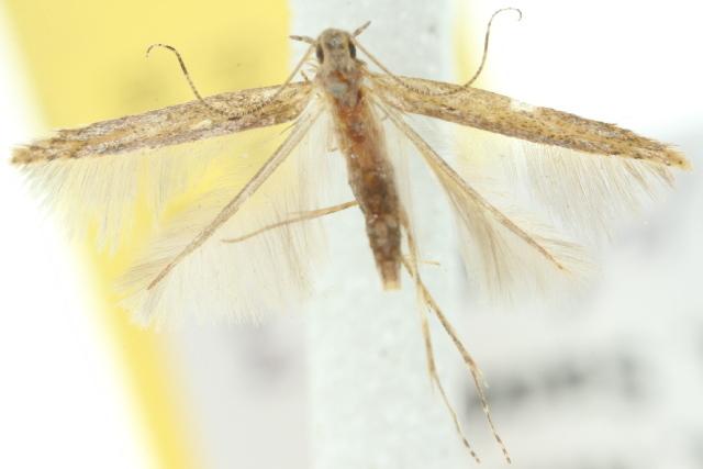 Image of <i>Batrachedra</i>