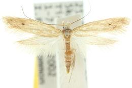 Image of <i>Batrachedra arenosella</i> Walker 1864