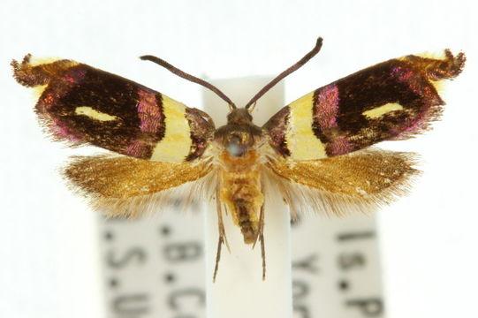 Image of <i>Ectropoceros</i>