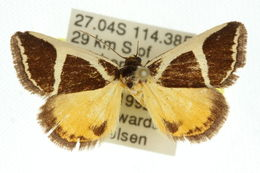 Image of <i>Xenogenes chrysoplaca</i> Meyrick 1910