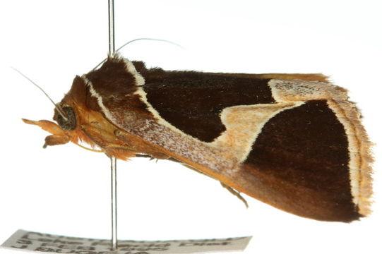 Image of <i>Xenogenes miranda</i>