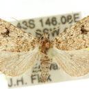 Image of <i>Ecphysis robiginosa</i>