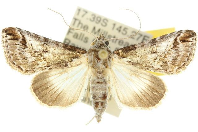 Image of <i>Risoba obstructa</i> Moore 1881