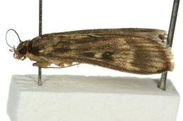 Image of <i>Araeomorpha limnophila</i> Turner 1937