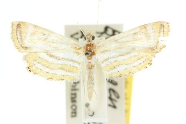 Image of <i>Parapoynx villidalis</i> Walker 1859