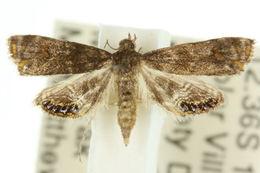 Image of <i>Paracataclysta fuscalis</i> Hampson 1893