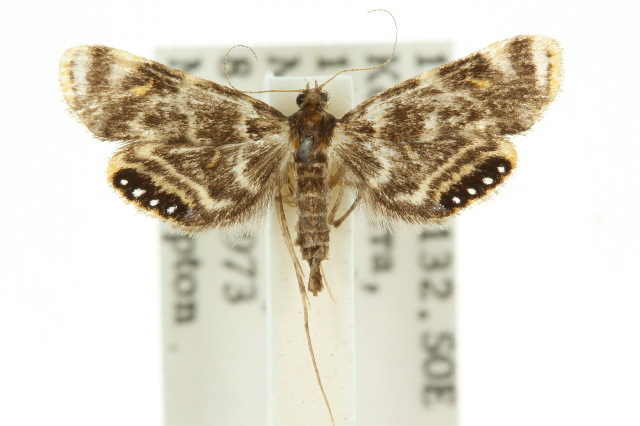 Image of <i>Paracataclysta</i>
