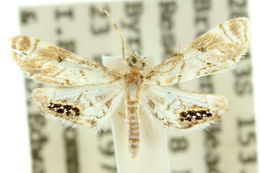 Image of <i>Hylebatis scintillifera</i> Turner 1908