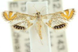 Image of <i>Nymphicula queenslandica</i>